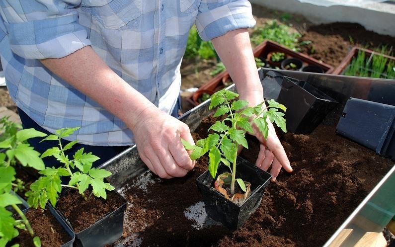 Когда сеять помидоры семенами на рассаду 306