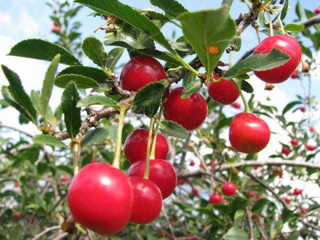 варенье из вишни рецепт пятиминутка