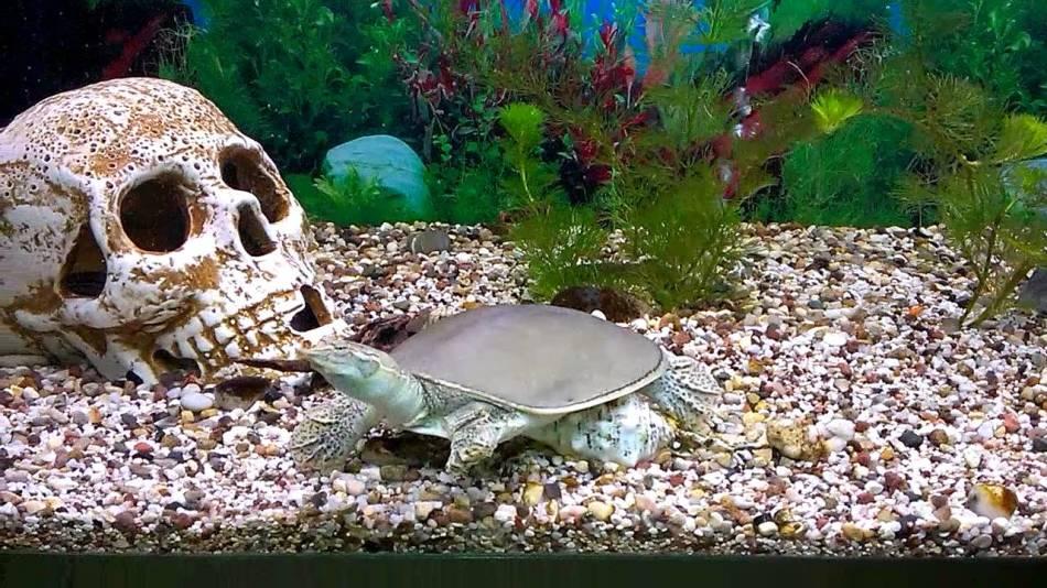 Трионикс китайский - необычная черепаха, которой можно создать дома необычный аквариум