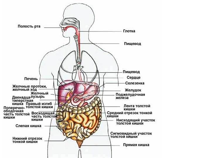 Внутренности человека схема фото