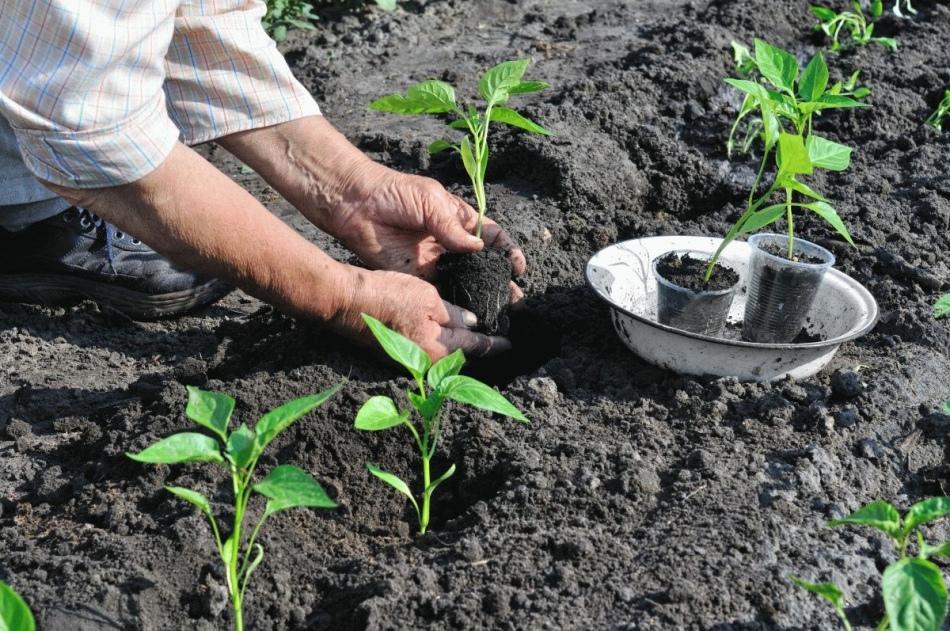 Выращивание перца в открытом грунт 402