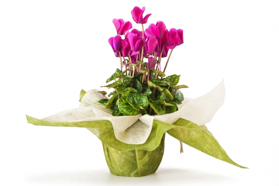 Цветы в горшках в подарок женщине 59