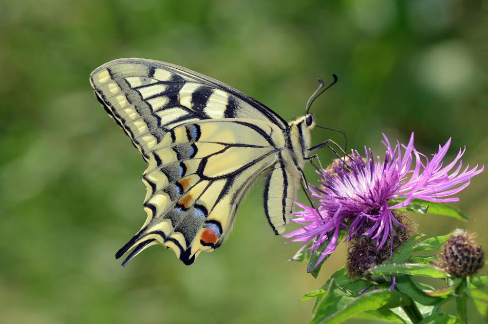 Описание бабочки махаон 34