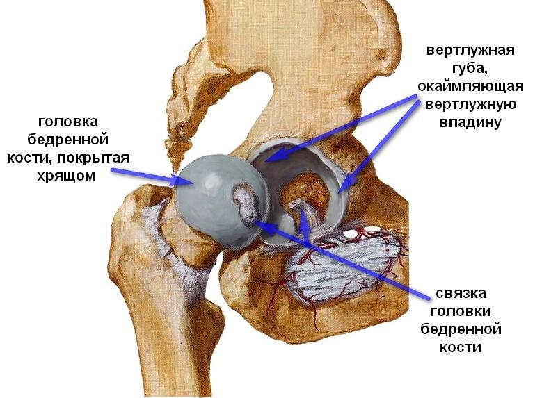 Тазобедренный сустав человека.