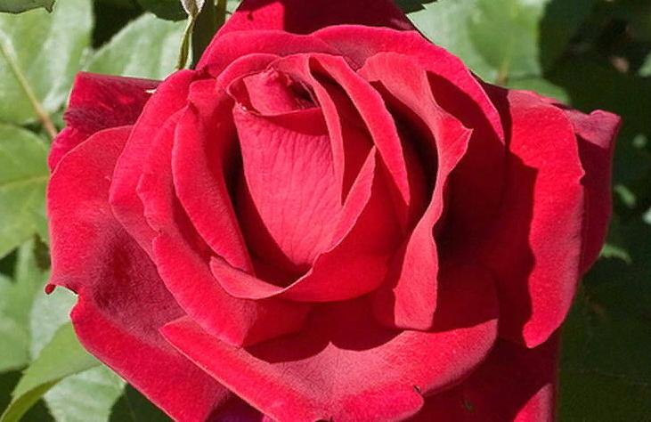 Роза «мистер линкольн»