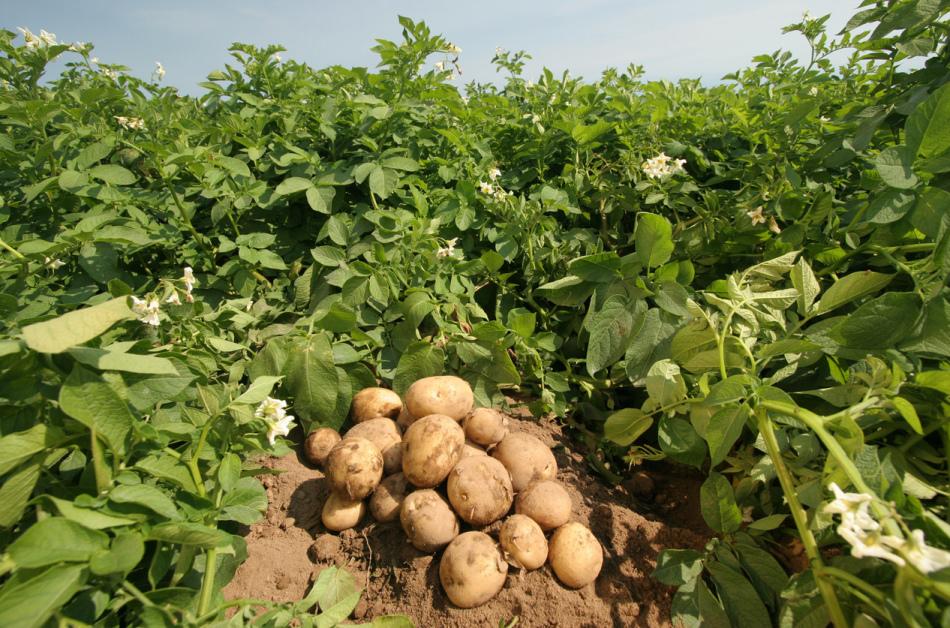 Нужен ли полив картофелю?