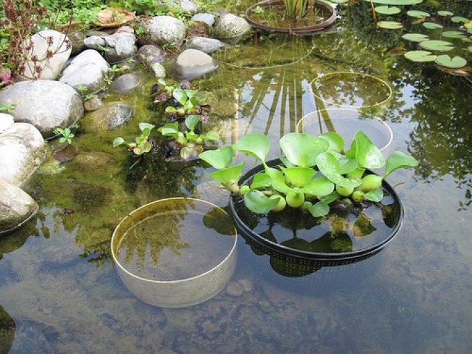 Водный гиацинт посадка и уход