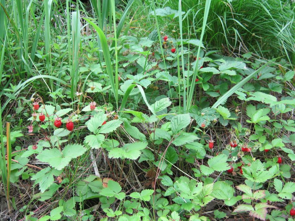 Витамины с лесной полянки