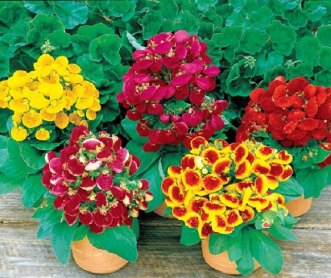 Купить-семена комнатных цветов