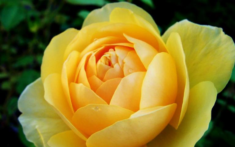 Желтая роза харисона