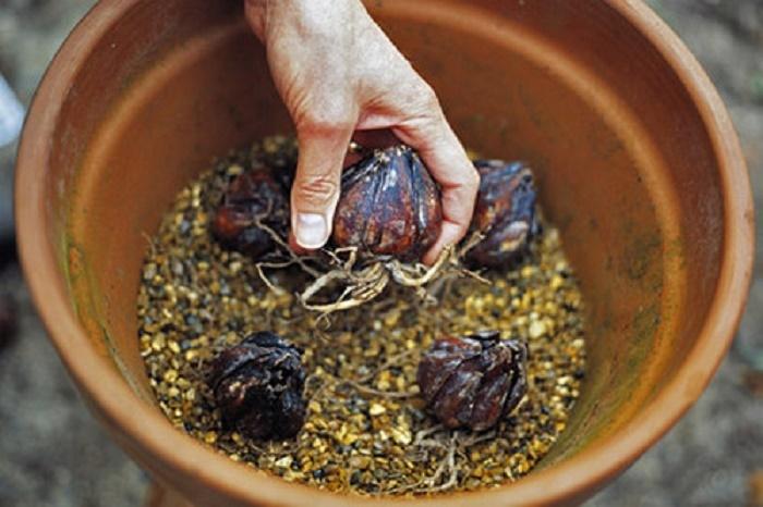 Как сажать лилии луковицами в горшок 75