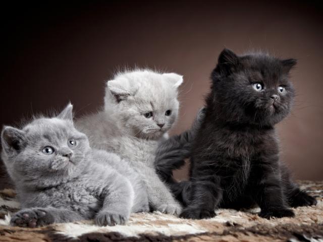 Коты описание характера