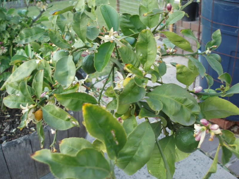 Potted Lemon Tree with problems and pics.