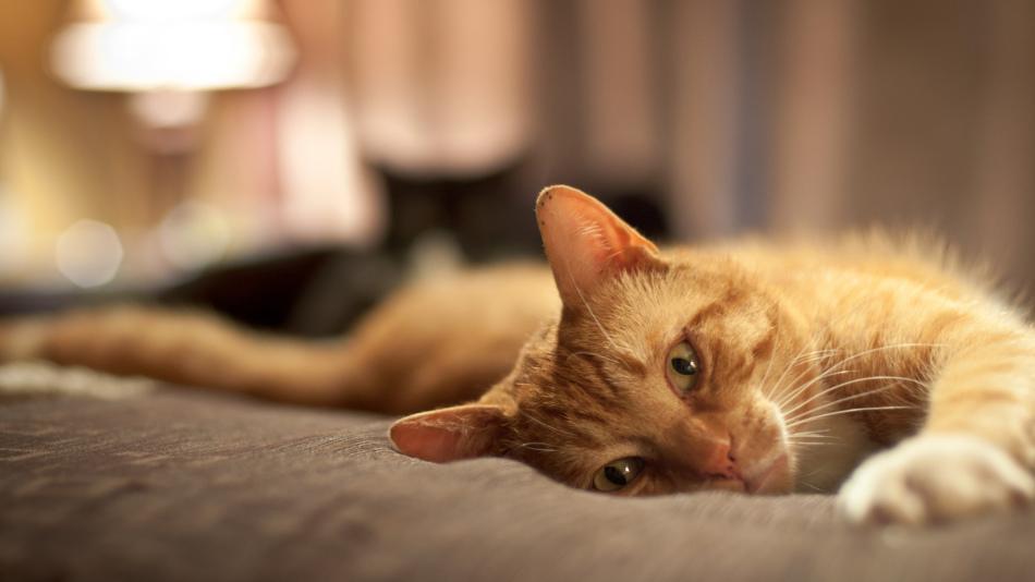 Кот агрессивный сонник