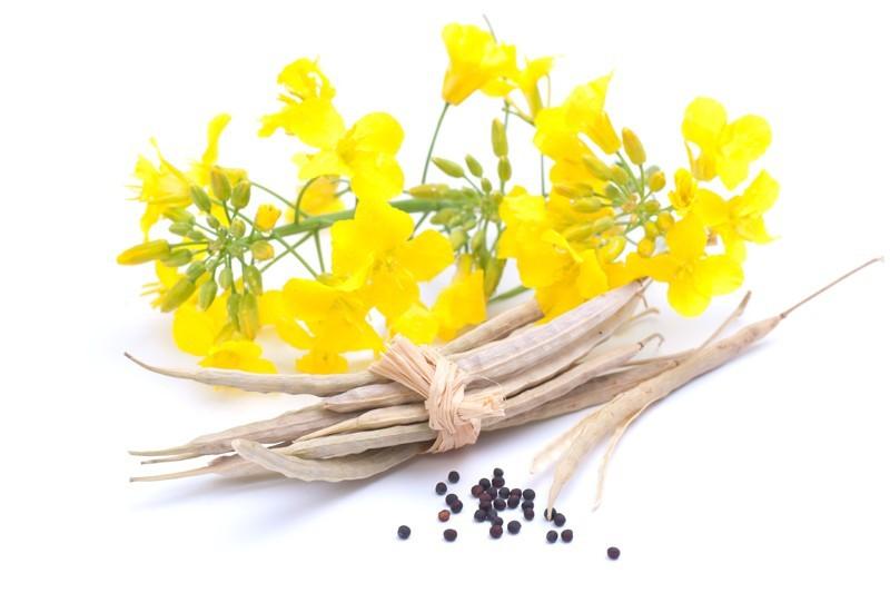 Цветы, плоды и семена рапса ярового
