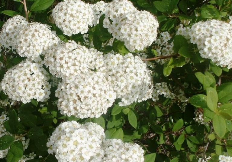 Белое цветение