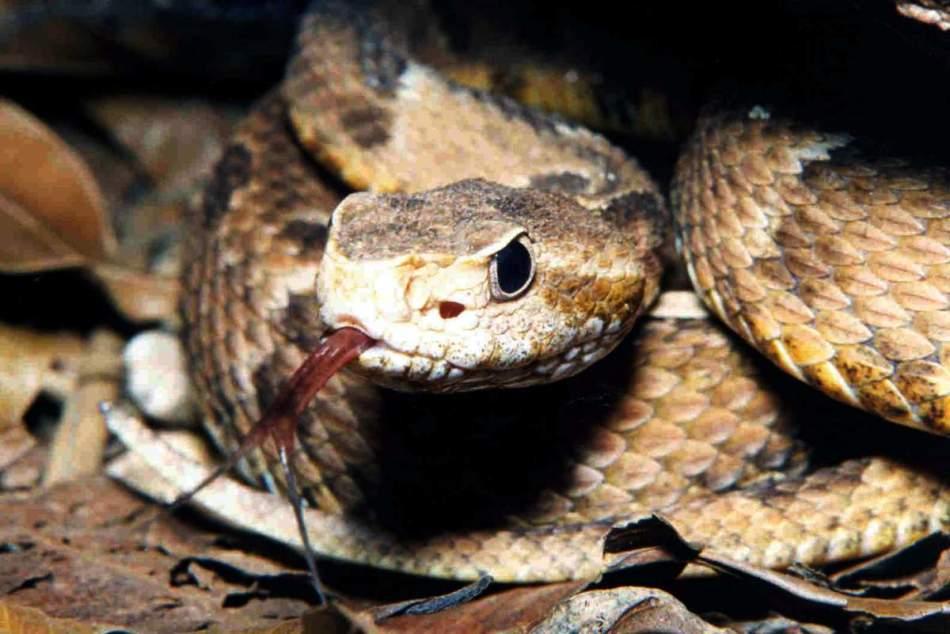 Жарарака обыкновенная - самая чуткая из ядовитых змей