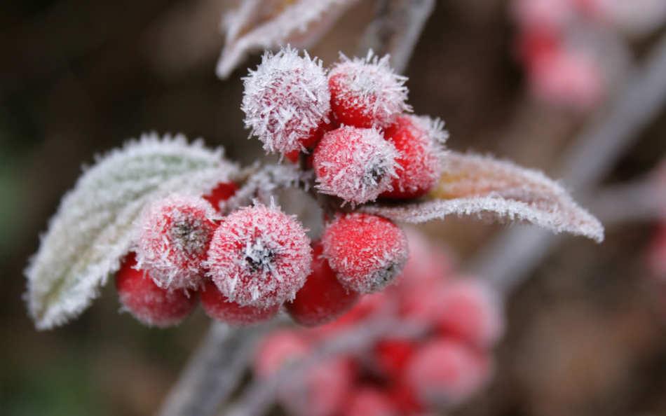 Заснеженные фруктовые плоды в ноябре