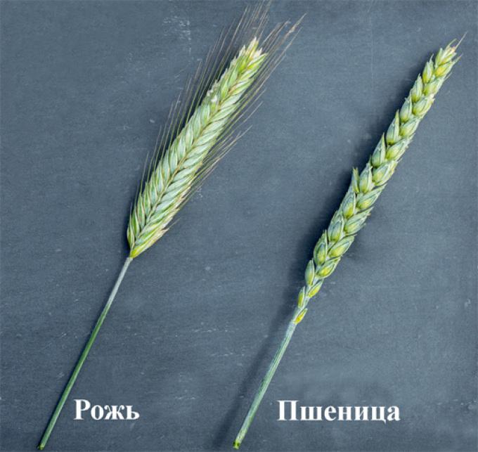 Пшеница и рожь: отличия