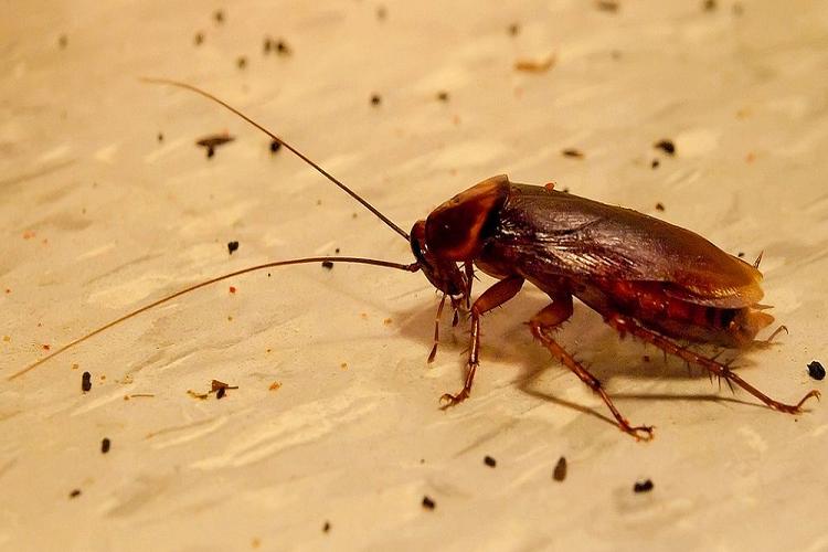После тараканов на поверхностях остается помет.