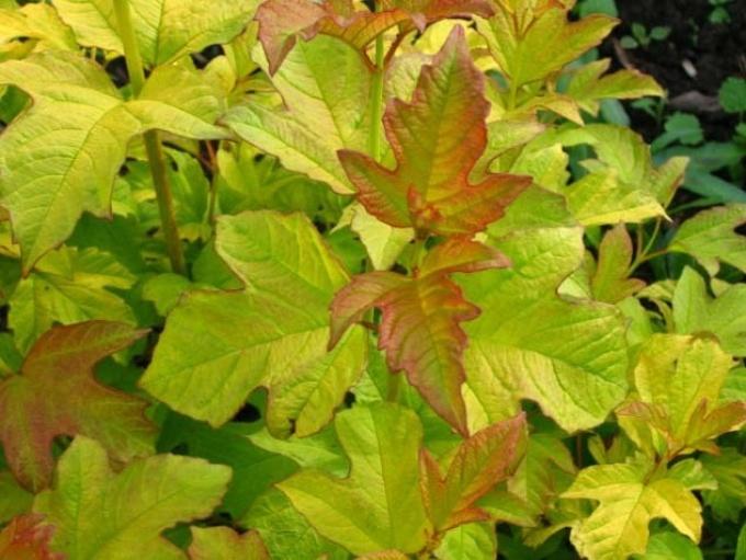 Листья калины используются при простуде и сыпи