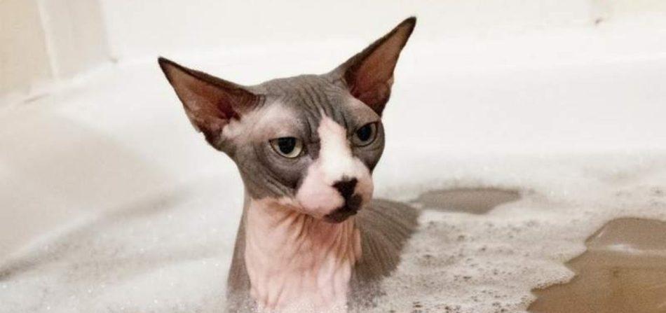 Бесшерстных котов купают раз 1-2 недели.