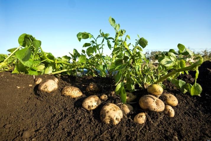 Заговор, чтобы картошка хорошо уродилась, помог