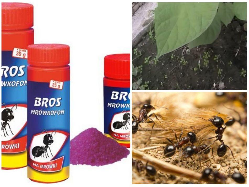 Уничтожение муравьем с помощью препарата {amp}quot;брос{amp}quot;