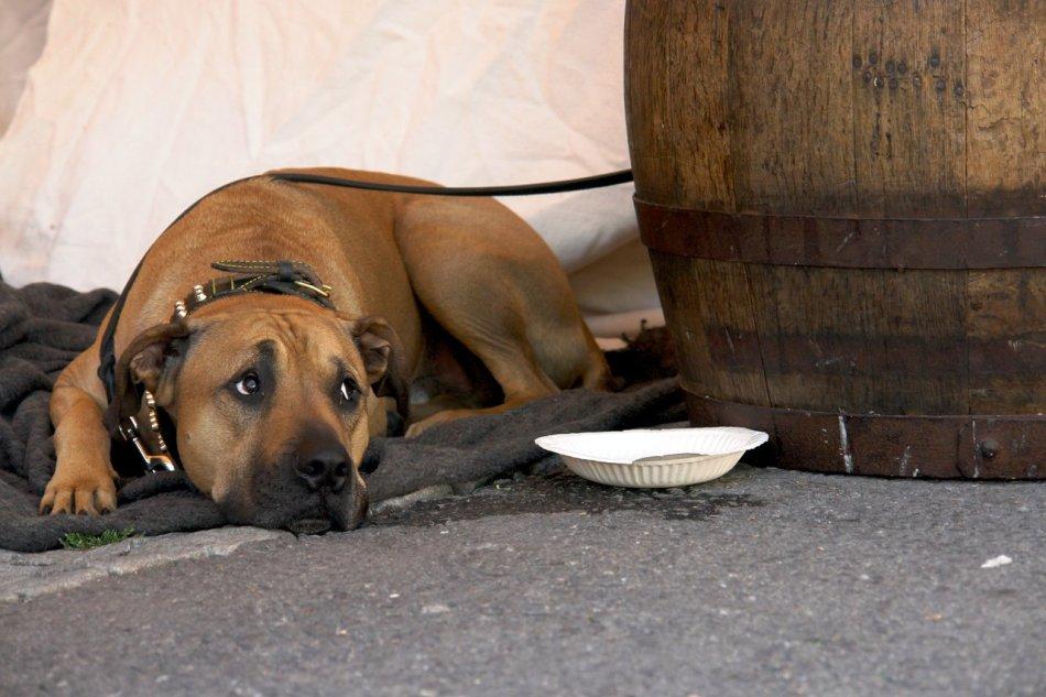 Собака при демодекозе часто не имеет аппетита