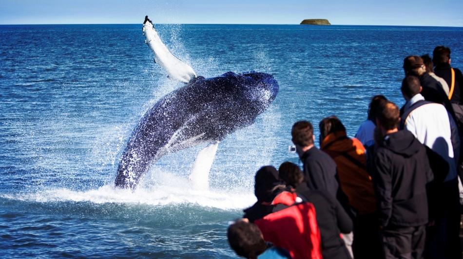 Горбатые киты в исландии