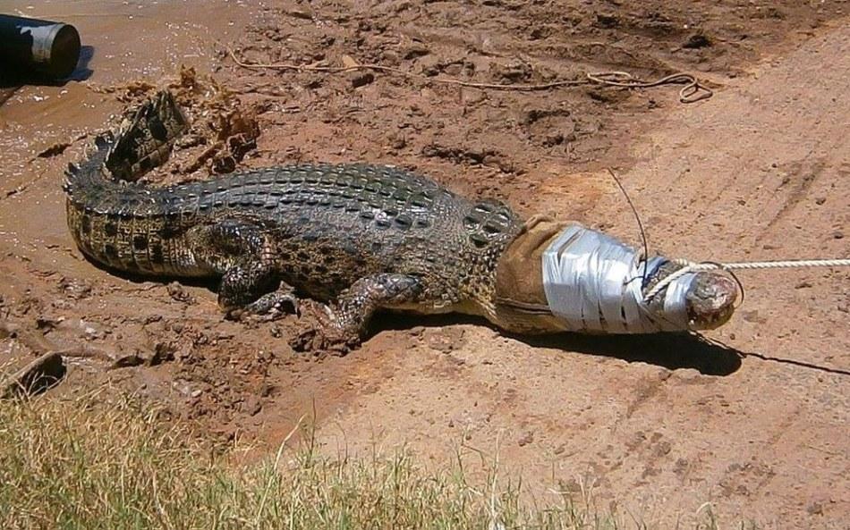 Убитый крокодил приснился, к чему?