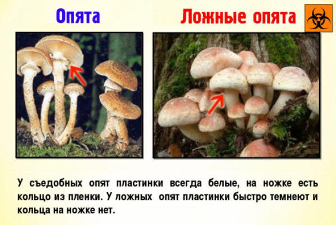 Отличие съедобных грибов от ядовитых