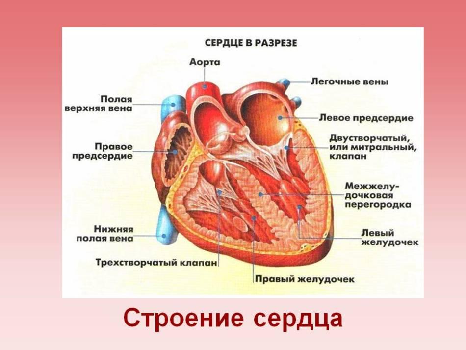 Строение сердца, сердце в разрезе