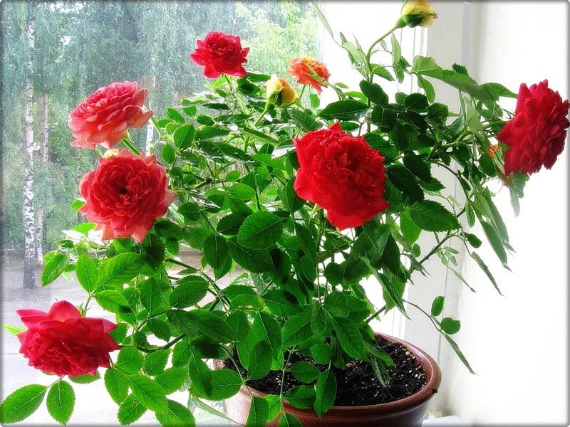 Описанный способ позволяет вырастить розу даже на подоконнике квартиры