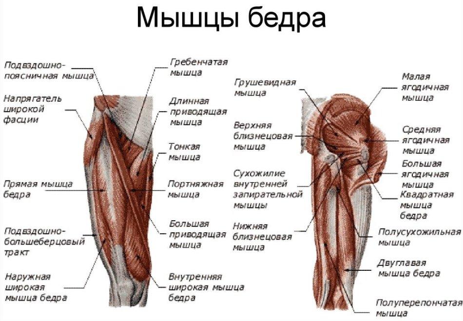 Мускулы возле бедренного узелка