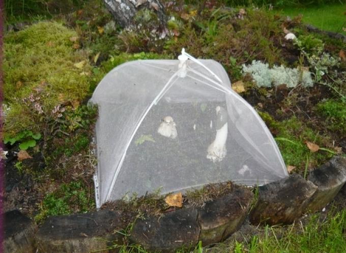Веселку из мицелия можно вырастить в домашних условиях.