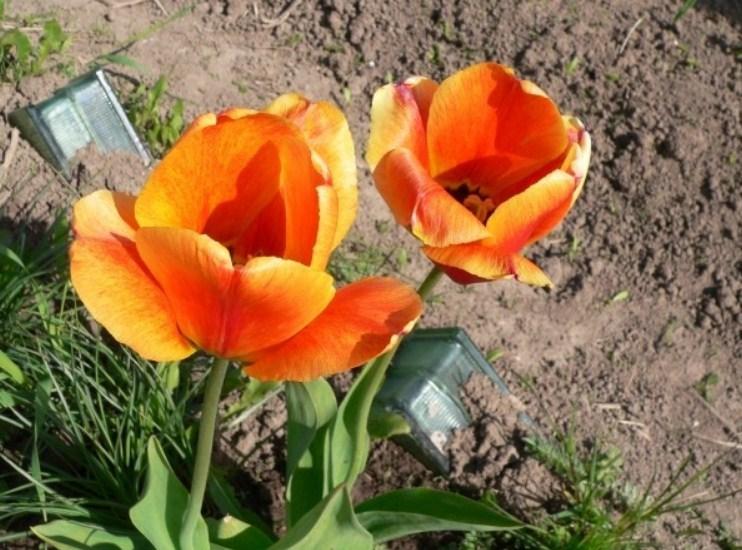 098f883783259a73dd413cb313489363 Выращивание тюльпанов к 8 марта