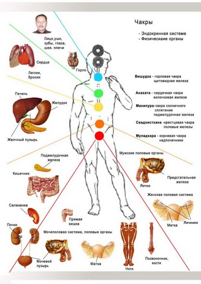 Анатомическая схема тела человека с обозначением чакр и зон их влияния на внутренние органы