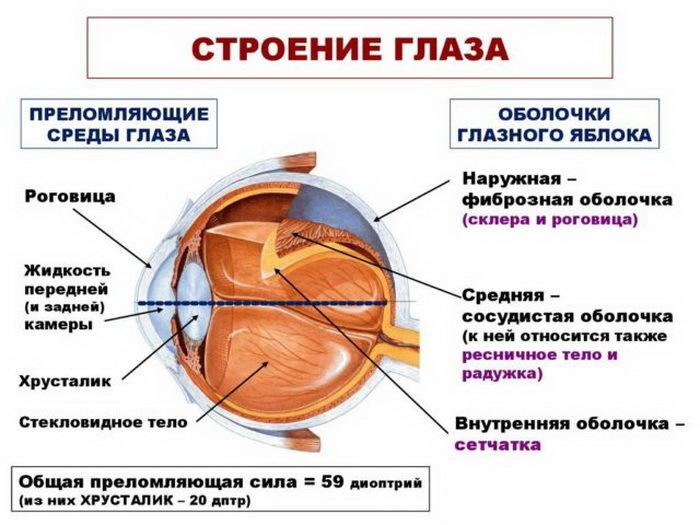 Анатомия зрительного органа, схема
