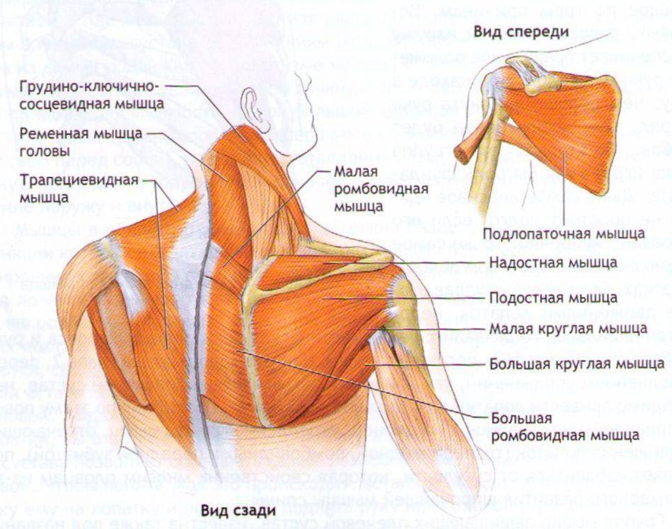 Строение мышечной ткани плечей и шеи