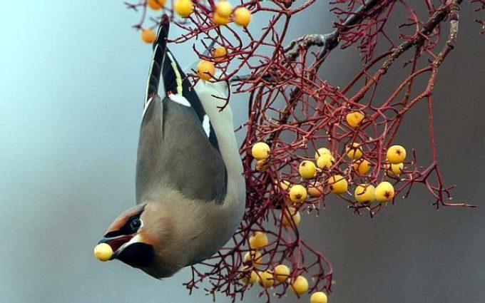 Какие птицы поедают рябину