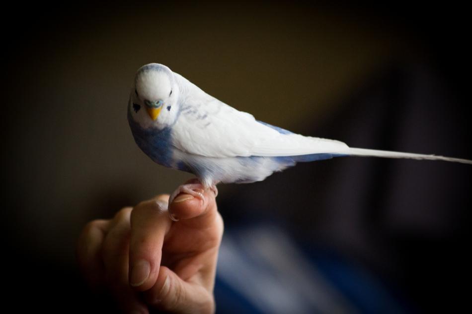 Попугайчик должен привыкнуть садиться хозяину на руку