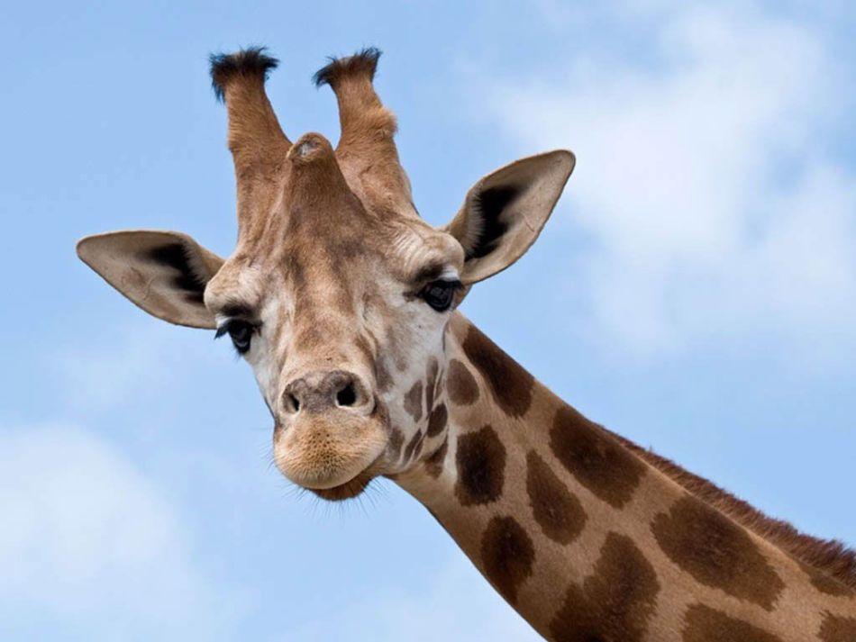 Тотемное животное для дарьи - жираф.