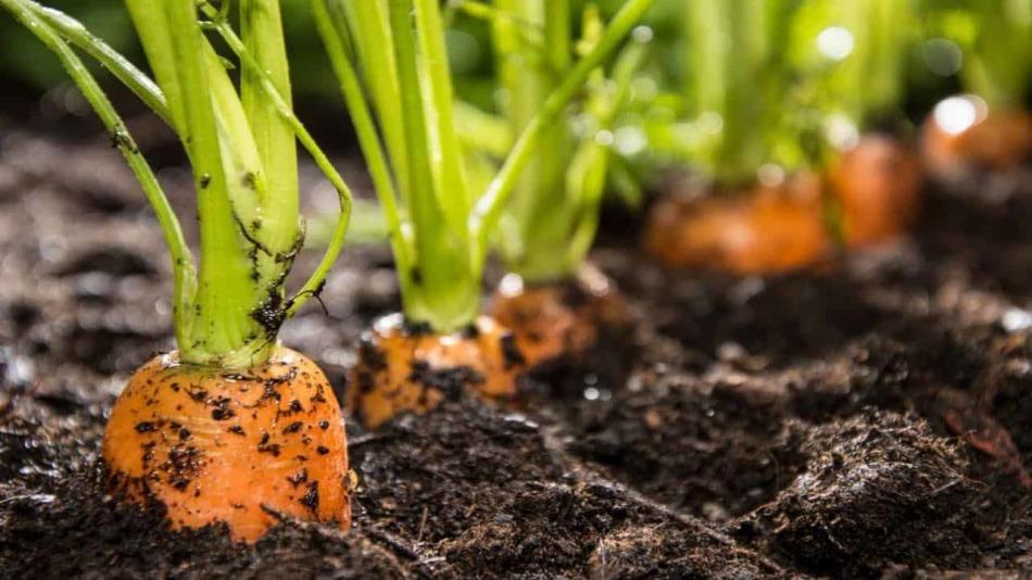 Выкапывать морковь