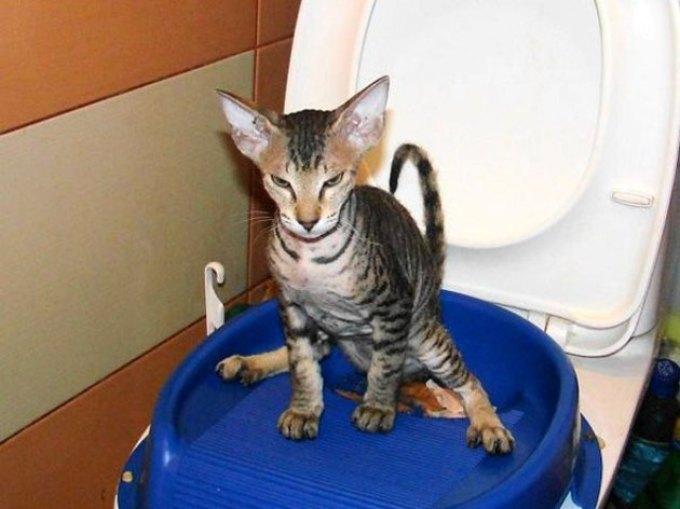 Простой тренажер для приучения кошки к унитазу.