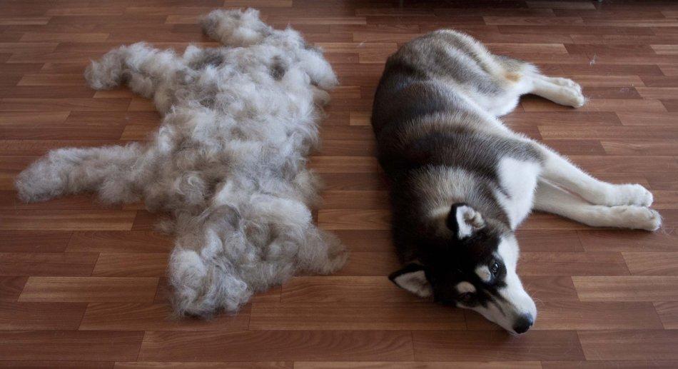 С какого возраста собака начинает линять