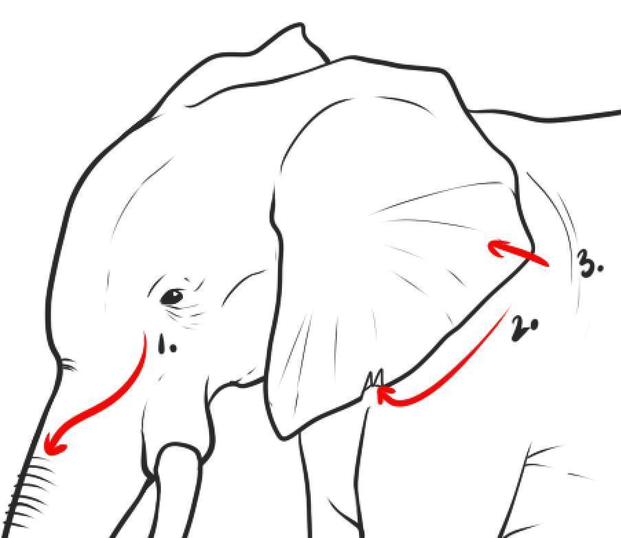 kak-narisovat-slona-karandashom-rabota-nad-detalyami Как нарисовать слона поэтапно: 5 вариантов как легко и просто нарисовать слона карандашом