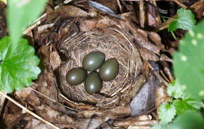 Гнездо соловья