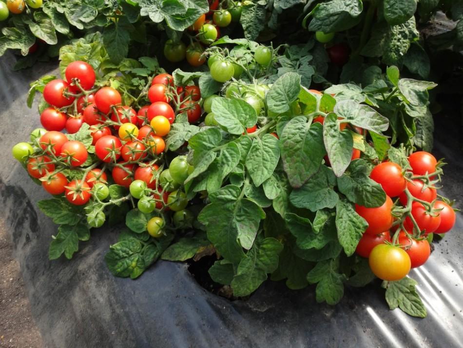 Низкие кусты томатов