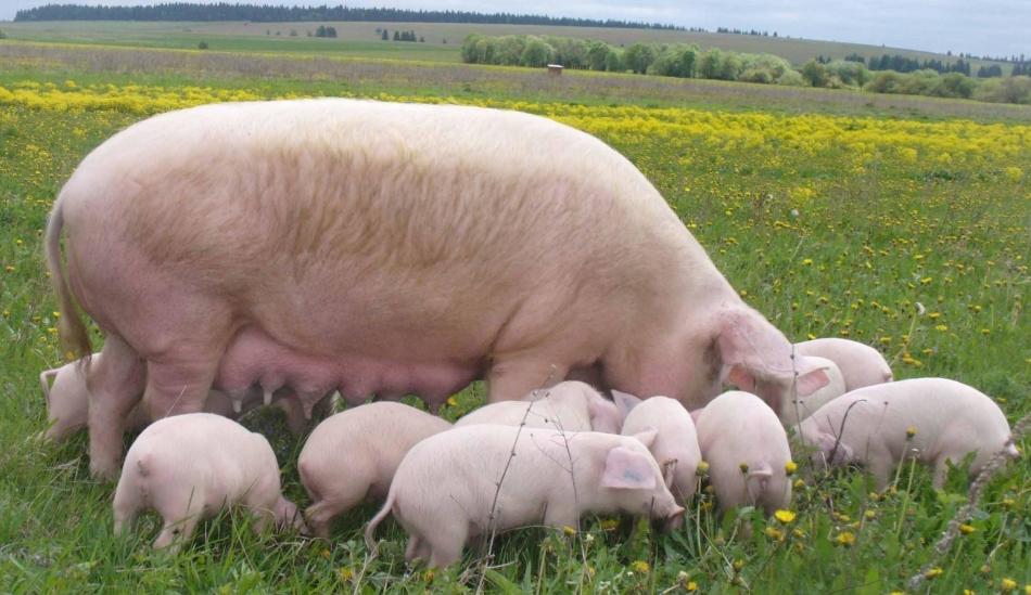Разные сны со свиньей